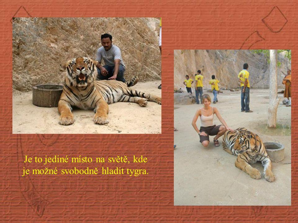 Je to jediné místo na světě, kde je možné svobodně hladit tygra.