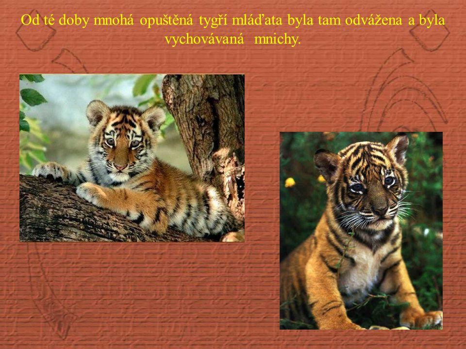 Od té doby mnohá opuštěná tygří mláďata byla tam odvážena a byla vychovávaná mnichy.