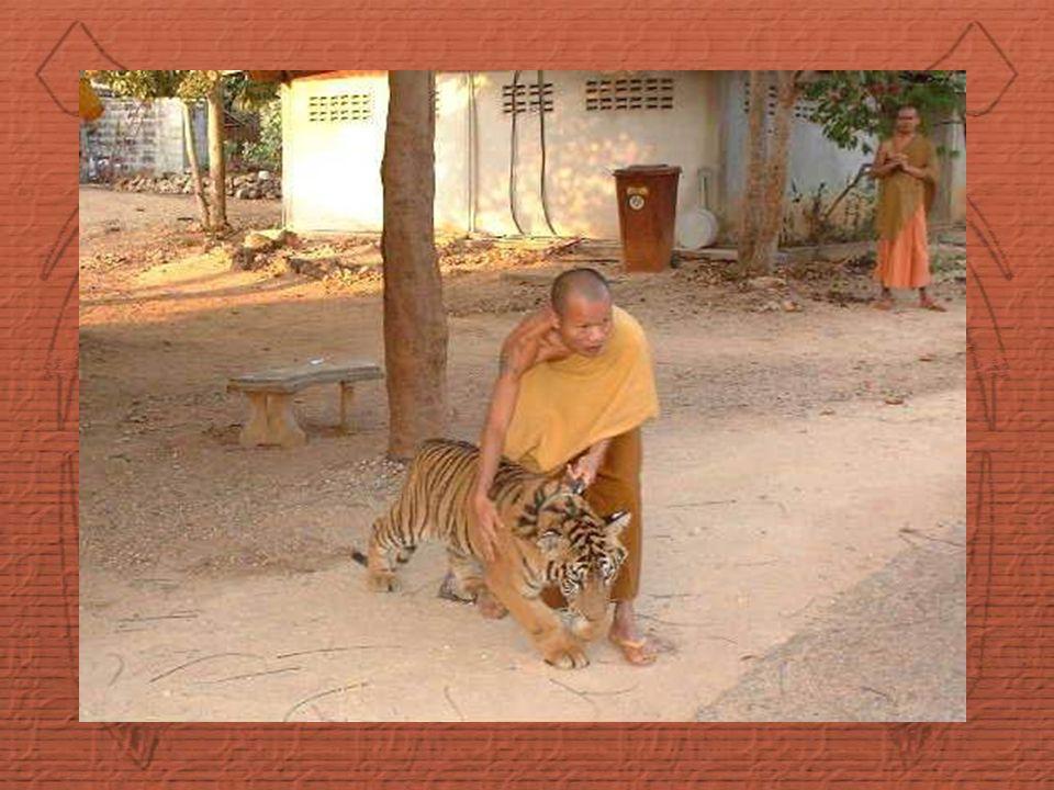 Zaměstnanci mají tygry pod stálou kontrolou a jsou připraveni zasáhnout, jestliže se tygři stávají neklidní.