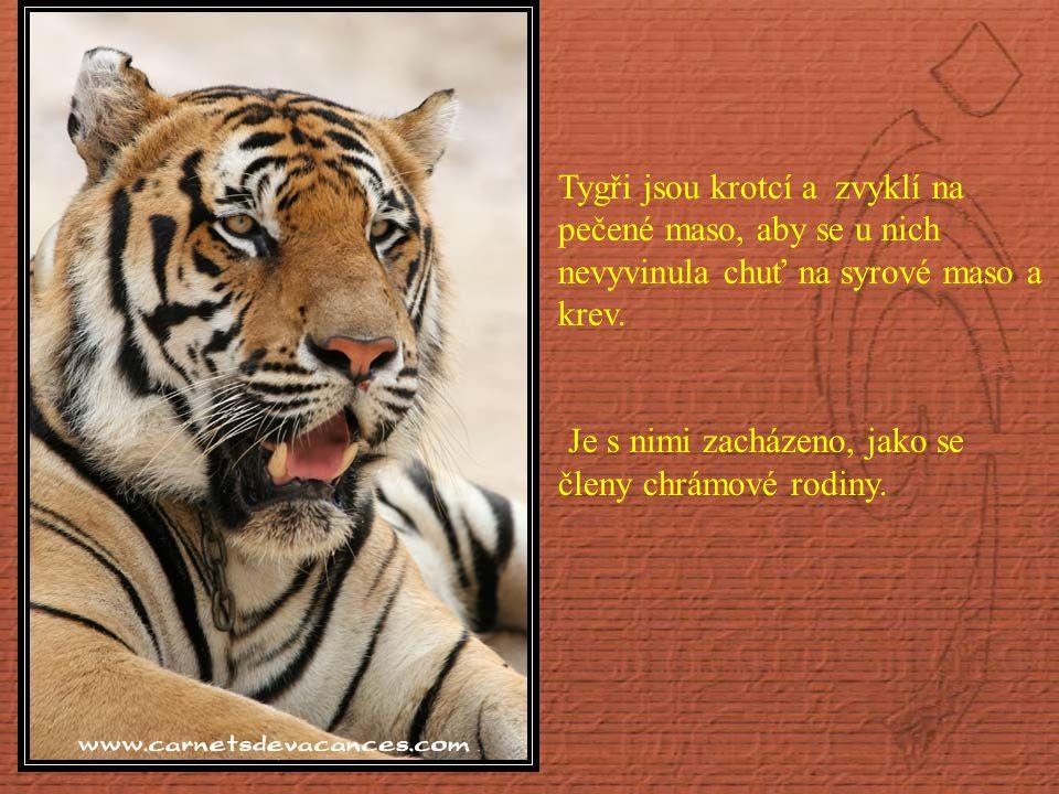 Tygři jsou krotcí a zvyklí na pečené maso, aby se u nich nevyvinula chuť na syrové maso a krev.