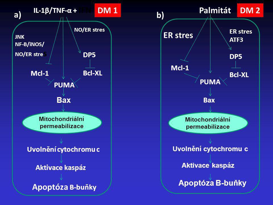 IL-1β/TNF-α + IFN-γ JNK NF-B/iNOS/ NO/ER stre s DP5 Bcl-XL Mcl-1 PUMA Mitochondriální permeabilizace Uvolnění cytochromu c Aktivace kaspáz Apoptóza B-