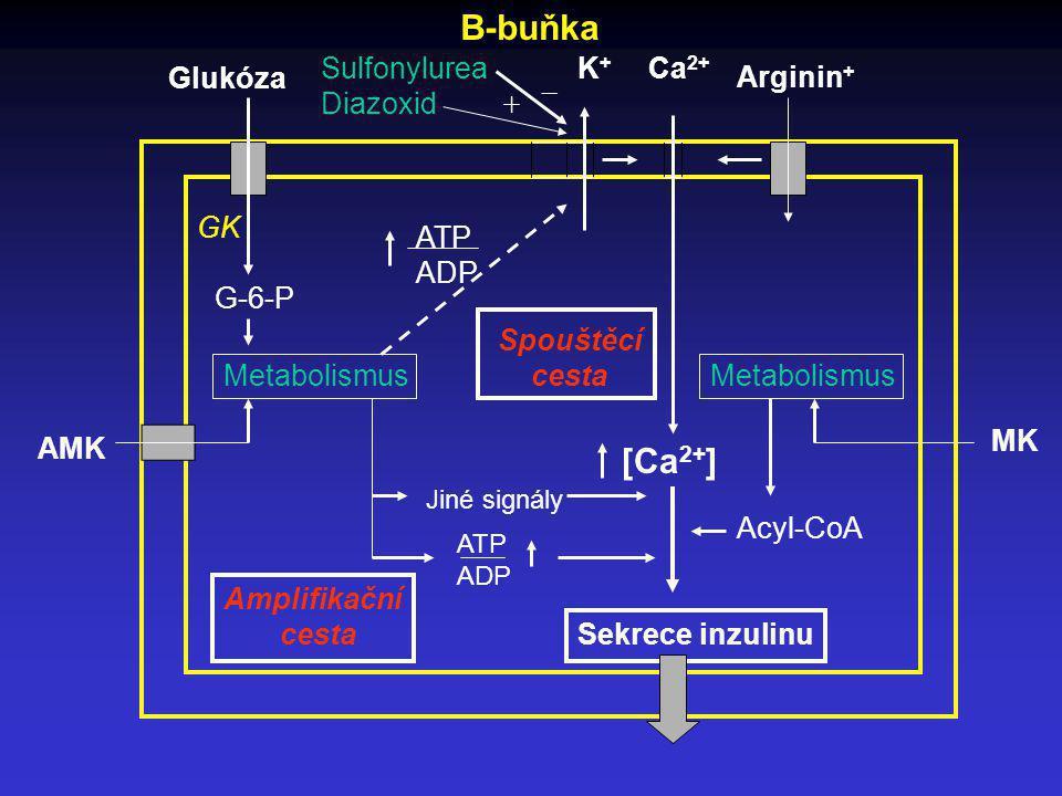 Glukóza Sulfonylurea Diazoxid + _ K+K+ Ca 2+ Arginin + ATP ADP G-6-P GK Metabolismus MK AMK [Ca 2+ ] Sekrece inzulinu Amplifikační cesta Spouštěcí ces
