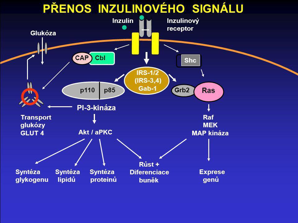 IRS-1/2 (IRS-3,4) Gab-1 Cbl Shc p110 p85 PI-3-kináza Akt / aPKC Syntéza Syntéza Syntéza glykogenu lipidů proteinů Grb2 Ras Raf MEK MAP kináza Růst + D