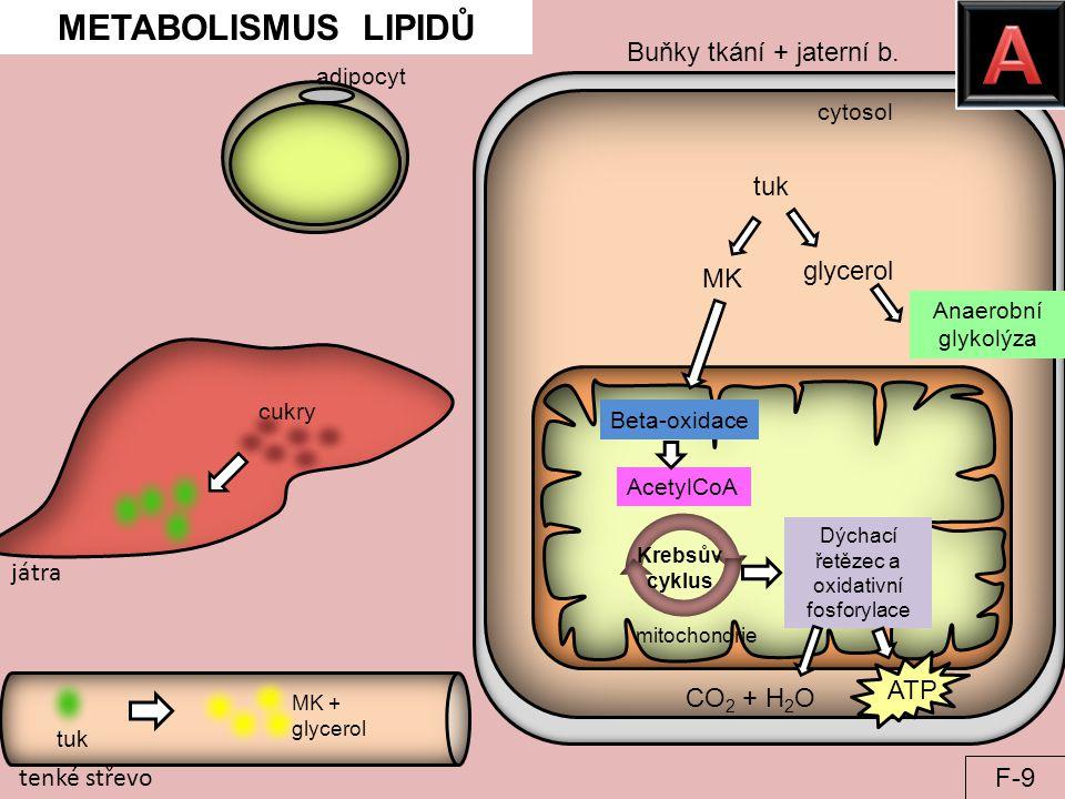 cytosol Krebsův cyklus Dýchací řetězec a oxidativní fosforylace mitochondrie tenké střevo CO 2 + H 2 O METABOLISMUS LIPIDŮ ATP játra AcetylCoA tuk MK