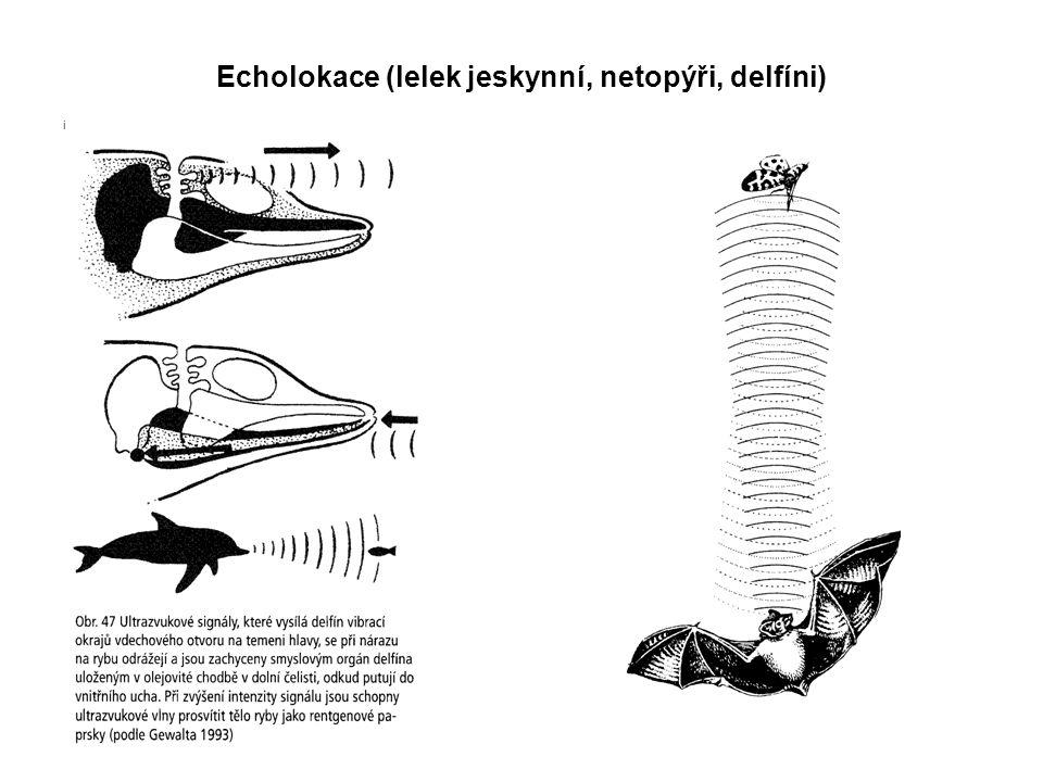 Echolokace (lelek jeskynní, netopýři, delfíni) i