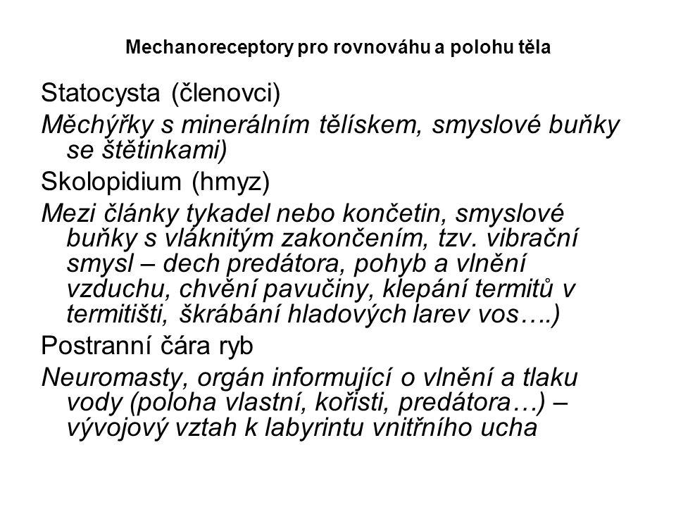 Mechanoreceptory pro rovnováhu a polohu těla Statocysta (členovci) Měchýřky s minerálním tělískem, smyslové buňky se štětinkami) Skolopidium (hmyz) Me