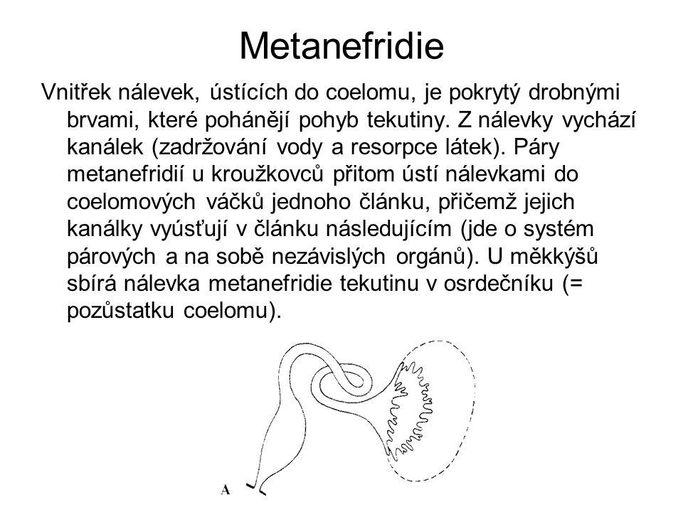 Metanefridie Vnitřek nálevek, ústících do coelomu, je pokrytý drobnými brvami, které pohánějí pohyb tekutiny. Z nálevky vychází kanálek (zadržování vo