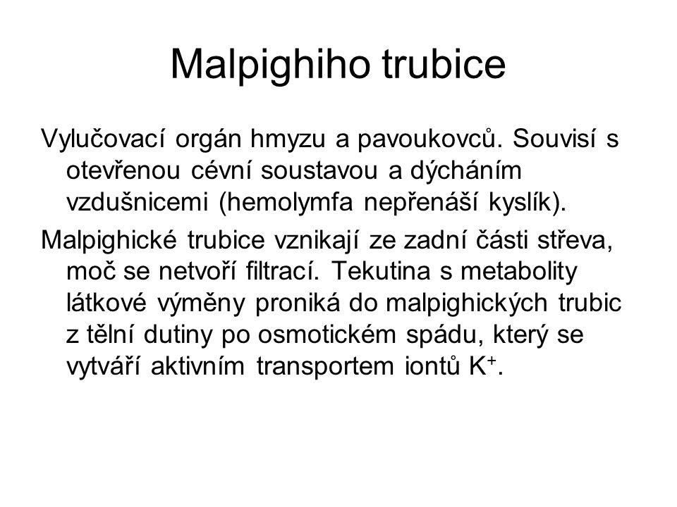 Malpighiho trubice Vylučovací orgán hmyzu a pavoukovců. Souvisí s otevřenou cévní soustavou a dýcháním vzdušnicemi (hemolymfa nepřenáší kyslík). Malpi