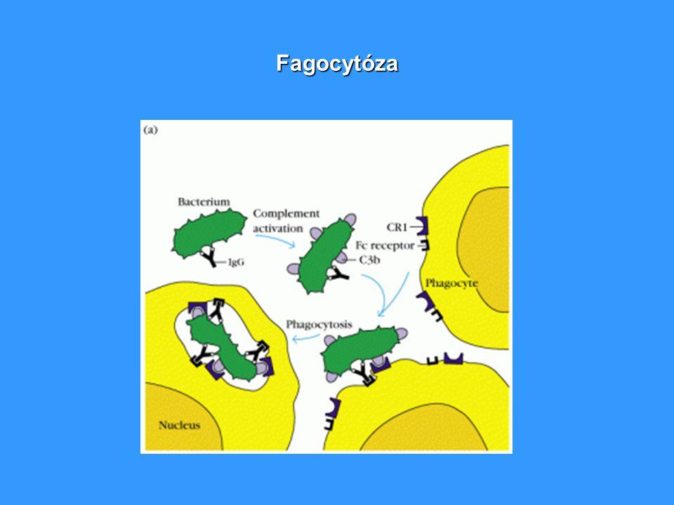 Fagocytóza