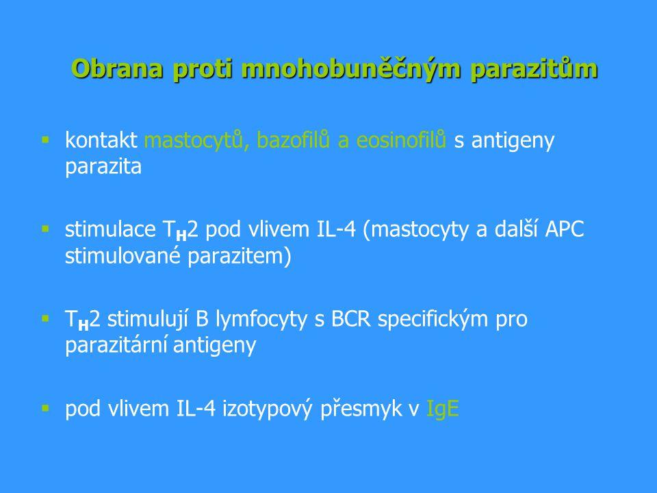  kontakt mastocytů, bazofilů a eosinofilů s antigeny parazita  stimulace T H 2 pod vlivem IL-4 (mastocyty a další APC stimulované parazitem)  T H 2 stimulují B lymfocyty s BCR specifickým pro parazitární antigeny  pod vlivem IL-4 izotypový přesmyk v IgE