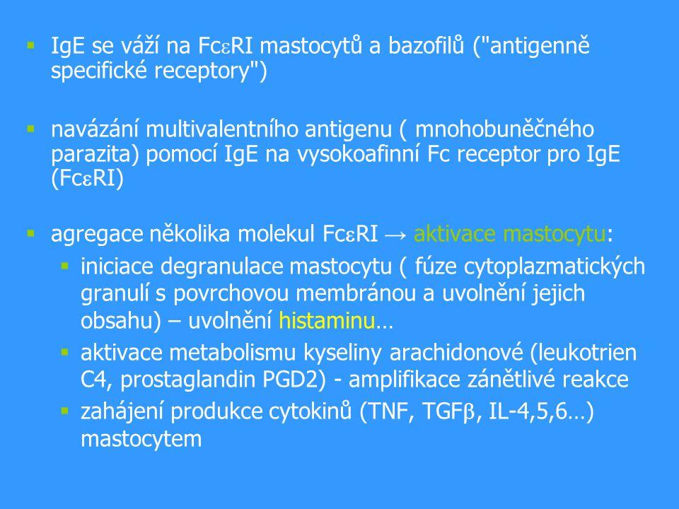 IgE se váží na Fc  RI mastocytů a bazofilů ( antigenně specifické receptory )  navázání multivalentního antigenu ( mnohobuněčného parazita) pomocí IgE na vysokoafinní Fc receptor pro IgE (Fc  RI)  agregace několika molekul Fc  RI → aktivace mastocytu:  iniciace degranulace mastocytu ( fúze cytoplazmatických granulí s povrchovou membránou a uvolnění jejich obsahu) – uvolnění histaminu…  aktivace metabolismu kyseliny arachidonové (leukotrien C4, prostaglandin PGD2) - amplifikace zánětlivé reakce  zahájení produkce cytokinů (TNF, TGF , IL-4,5,6…) mastocytem