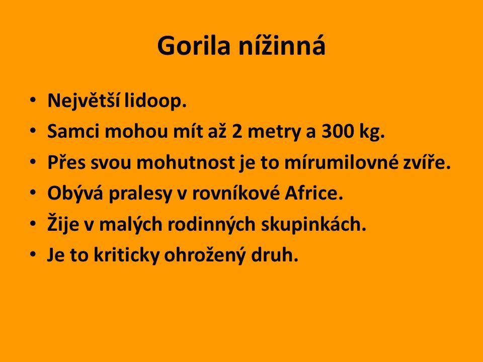 Gorila nížinná Největší lidoop. Samci mohou mít až 2 metry a 300 kg. Přes svou mohutnost je to mírumilovné zvíře. Obývá pralesy v rovníkové Africe. Ži