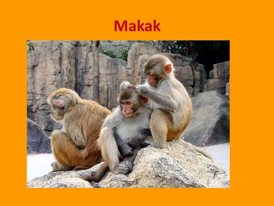Makak rhesus Žije v Africe.Je často využíván pro laboratorní výzkum ( např.
