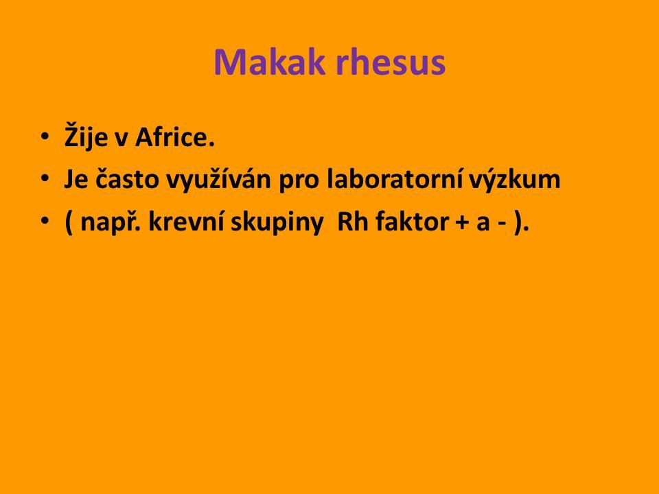 Makak rhesus Žije v Africe. Je často využíván pro laboratorní výzkum ( např. krevní skupiny Rh faktor + a - ).