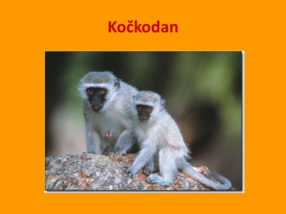 Žijí v Jihovýchodní Asii – pralesy Bornea a Sumatry.