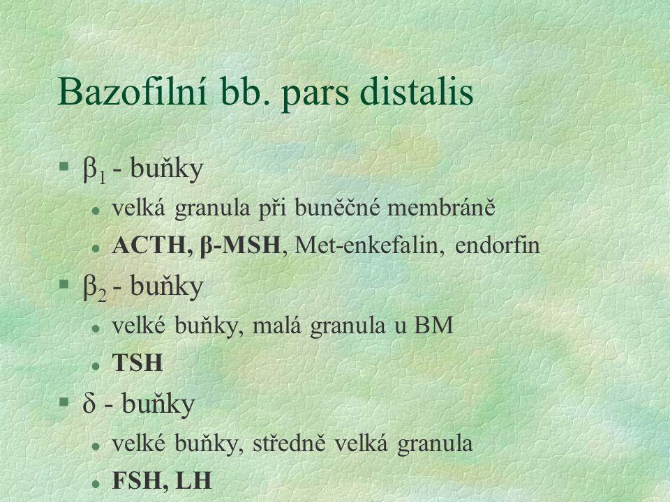 Bazofilní bb. pars distalis §β 1 - buňky l velká granula při buněčné membráně l ACTH, β-MSH, Met-enkefalin, endorfin §β 2 - buňky l velké buňky, malá