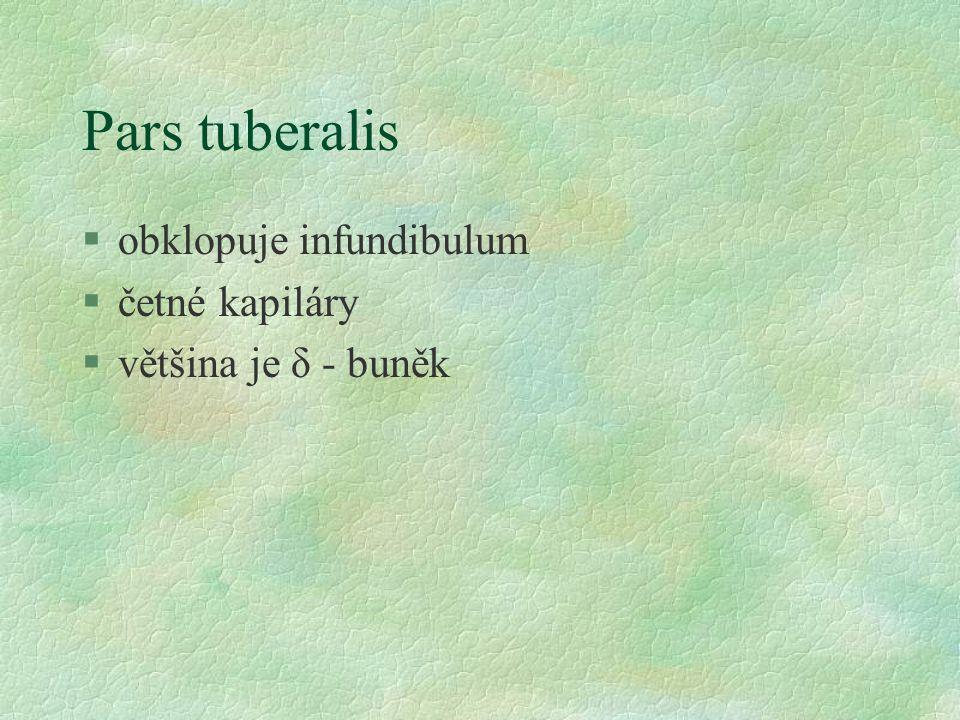Pars tuberalis §obklopuje infundibulum §četné kapiláry §většina je δ - buněk