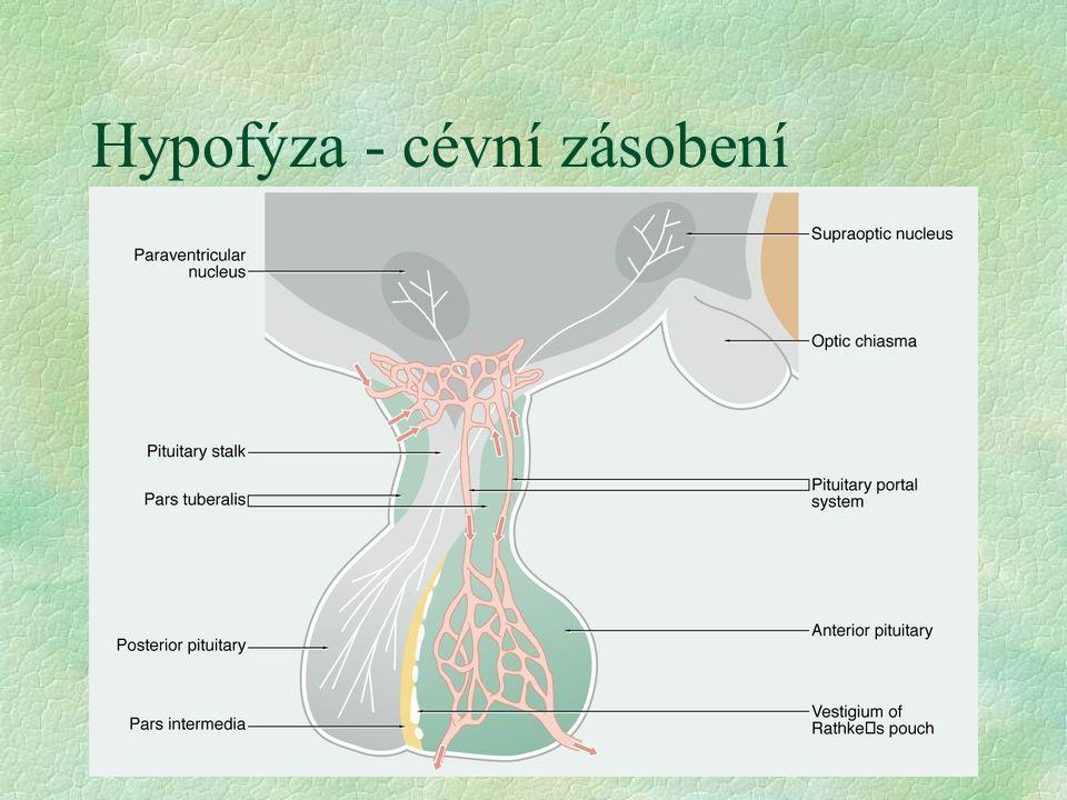 Hypofýza - cévní zásobení §a. hypoph. superior l prim. kapilární plexus v infundibulu l sek. portální plexus v adenohypofýze l hypofyzární portální sy