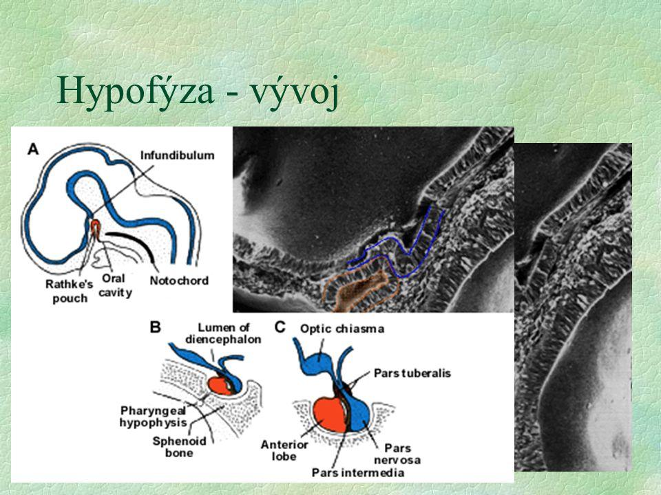 Hypofýza - vývoj