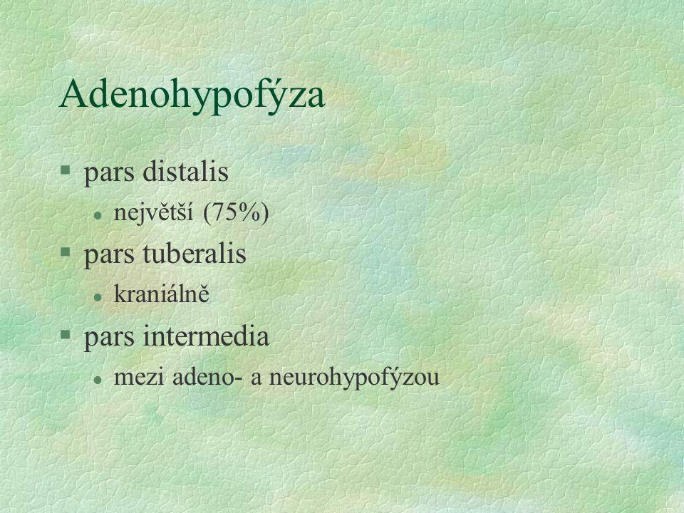 Adenohypofýza §pars distalis l největší (75%) §pars tuberalis l kraniálně §pars intermedia l mezi adeno- a neurohypofýzou