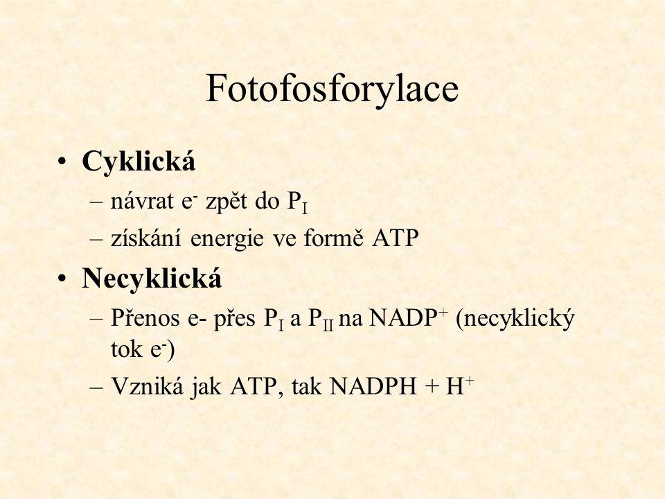 Fotofosforylace Cyklická –návrat e - zpět do P I –získání energie ve formě ATP Necyklická –Přenos e- přes P I a P II na NADP + (necyklický tok e - ) –