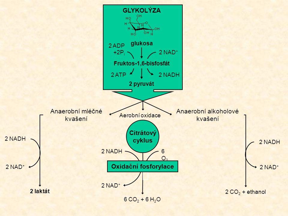 GLYKOLÝZA glukosa 2 pyruvát 2 NAD + 2 ADP +2P i 2 NADH2 ATP Fruktos-1,6-bisfosfát Citrátový cyklus Anaerobní alkoholové kvašení Aerobní oxidace Anaero