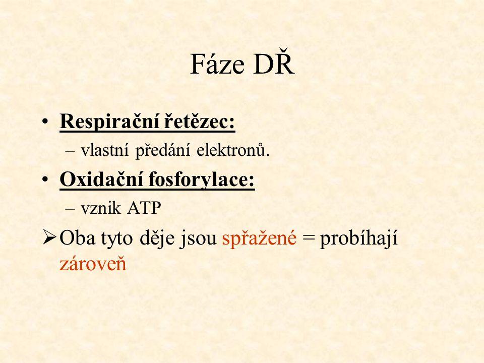 Fáze DŘ Respirační řetězec: –vlastní předání elektronů. Oxidační fosforylace: –vznik ATP  Oba tyto děje jsou spřažené = probíhají zároveň