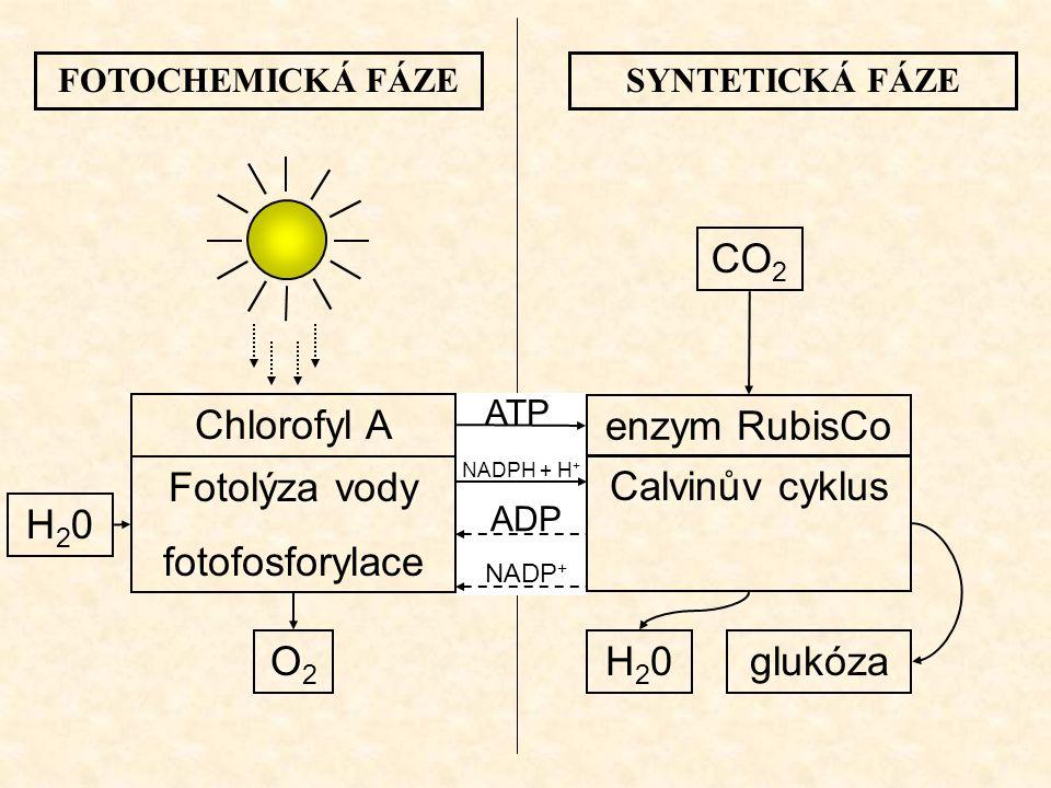 FOTOCHEMICKÁ FÁZESYNTETICKÁ FÁZE Chlorofyl A Fotolýza vody fotofosforylace O2O2 H20H20 enzym RubisCo Calvinův cyklus ATP NADPH + H + ADP NADP + glukóz