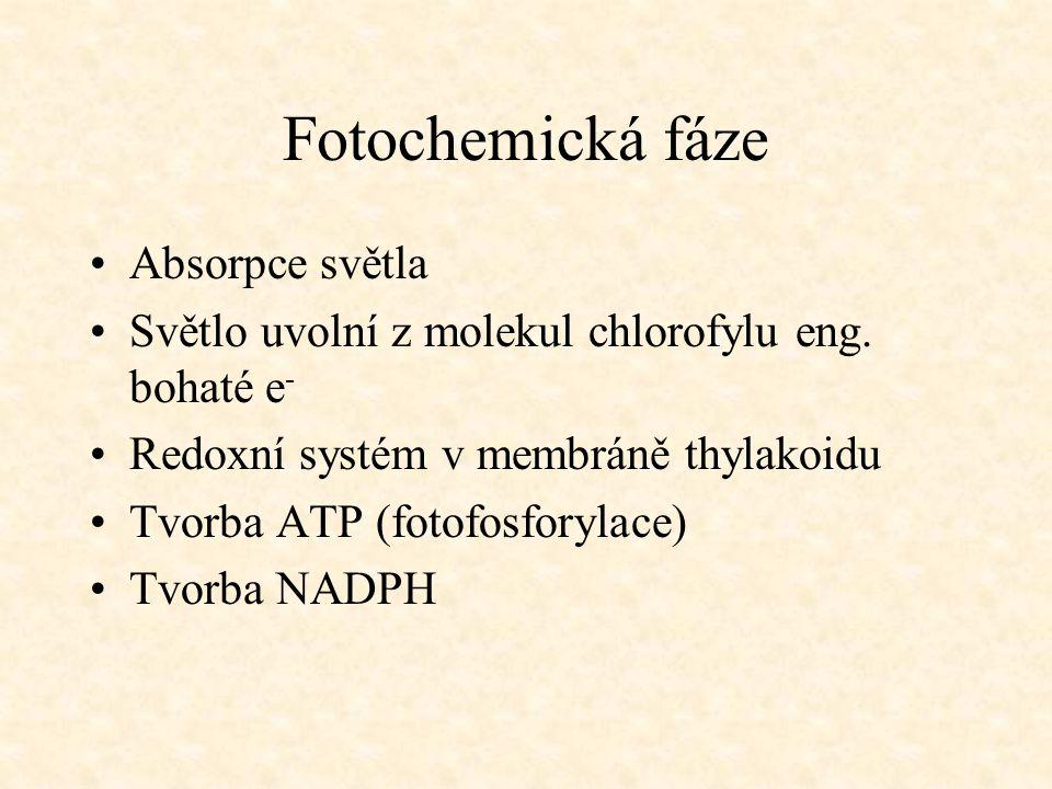 Fotochemická fáze Absorpce světla Světlo uvolní z molekul chlorofylu eng. bohaté e - Redoxní systém v membráně thylakoidu Tvorba ATP (fotofosforylace)