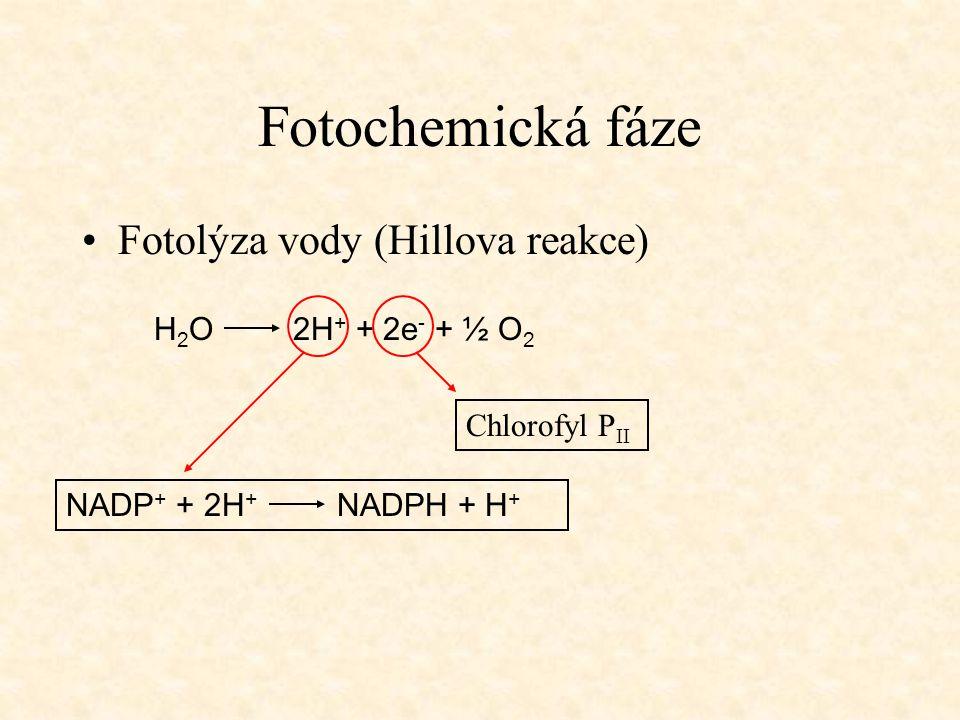 Fotochemická fáze Fotolýza vody (Hillova reakce) H 2 O 2H + + 2e - + ½ O 2 Chlorofyl P II NADP + + 2H + NADPH + H +