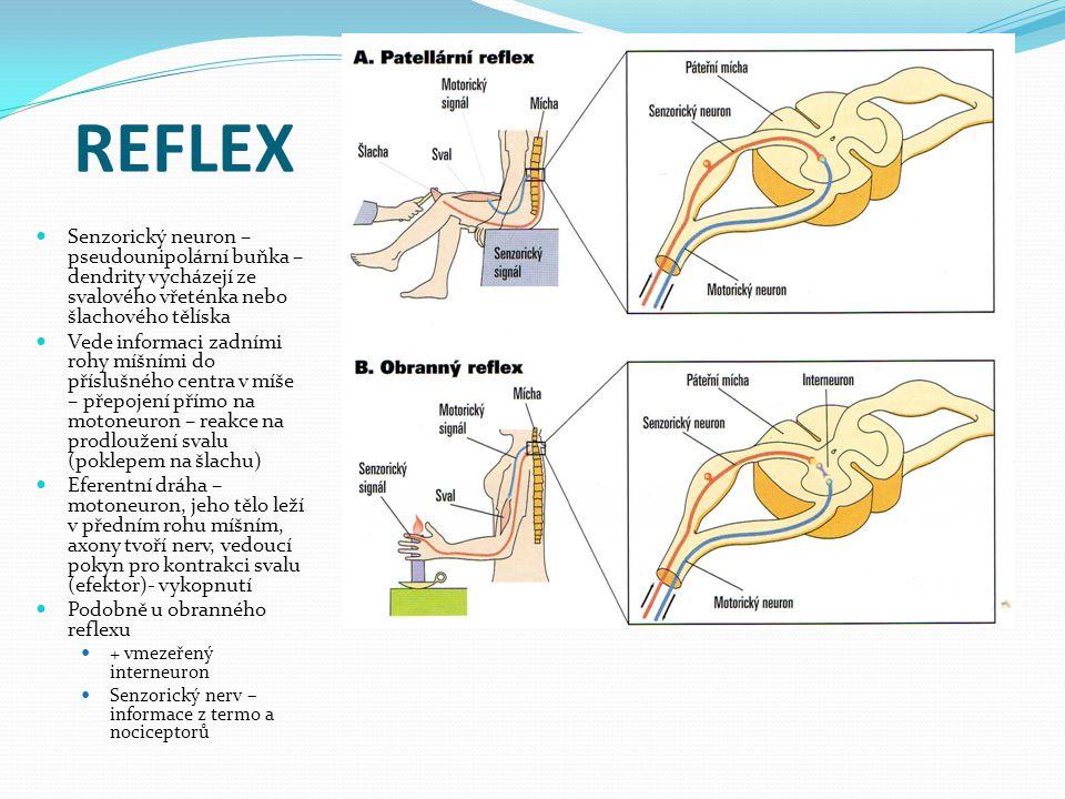 REFLEX Senzorický neuron – pseudounipolární buňka – dendrity vycházejí ze svalového vřeténka nebo šlachového tělíska Vede informaci zadními rohy míšními do příslušného centra v míše – přepojení přímo na motoneuron – reakce na prodloužení svalu (poklepem na šlachu) Eferentní dráha – motoneuron, jeho tělo leží v předním rohu míšním, axony tvoří nerv, vedoucí pokyn pro kontrakci svalu (efektor)- vykopnutí Podobně u obranného reflexu + vmezeřený interneuron Senzorický nerv – informace z termo a nociceptorů