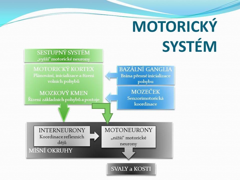 """MÍŠNÍ OKRUHY MOTORICKÝ SYSTÉM SESTUPNÝ SYSTÉM """"vyšší motorické neurony SESTUPNÝ SYSTÉM """"vyšší motorické neurony MOTORICKÝ KORTEX Plánování, inicializace a řízení volních pohybů MOZKOVÝ KMEN Řízení základních pohybů a postoje MOTORICKÝ KORTEX Plánování, inicializace a řízení volních pohybů MOZKOVÝ KMEN Řízení základních pohybů a postoje BAZÁLNÍ GANGLIA Brána přesné inicializace pohybu BAZÁLNÍ GANGLIA Brána přesné inicializace pohybu MOZEČEK Senzorimotorická koordinace MOZEČEK Senzorimotorická koordinace INTERNEURONY Koordinace reflexních dějů INTERNEURONY Koordinace reflexních dějů MOTONEURONY """" nižší motorické neurony MOTONEURONY """" nižší motorické neurony SVALY a KOSTI"""