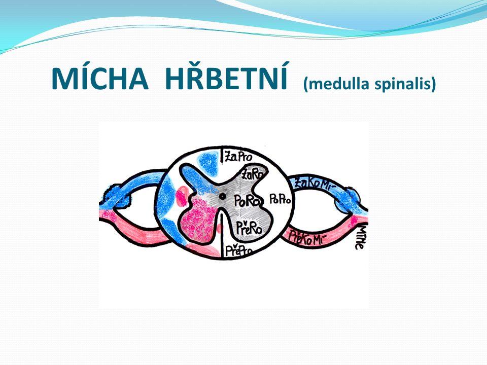 MÍCHA HŘBETNÍ (medulla spinalis)
