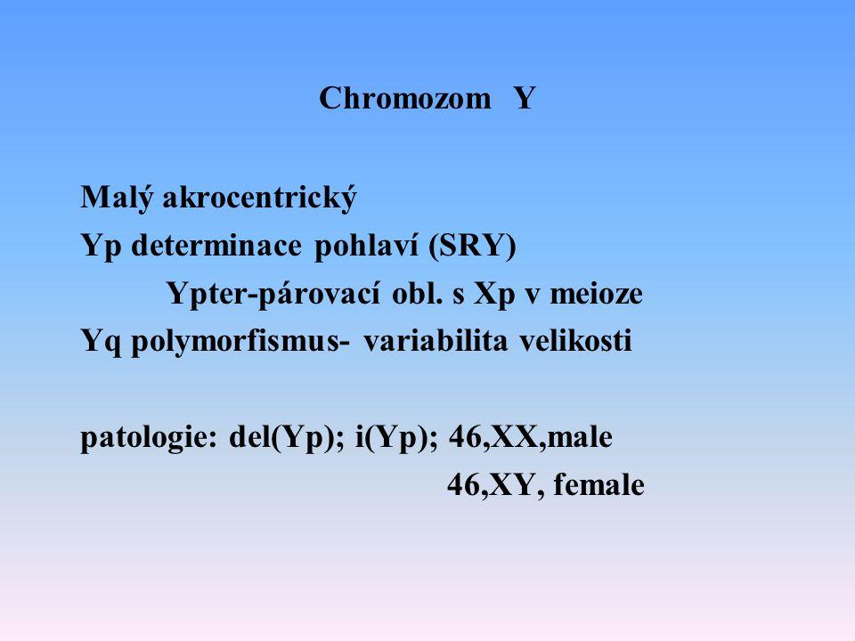 Chromozom Y Malý akrocentrický Yp determinace pohlaví (SRY) Ypter-párovací obl. s Xp v meioze Yq polymorfismus- variabilita velikosti patologie: del(Y