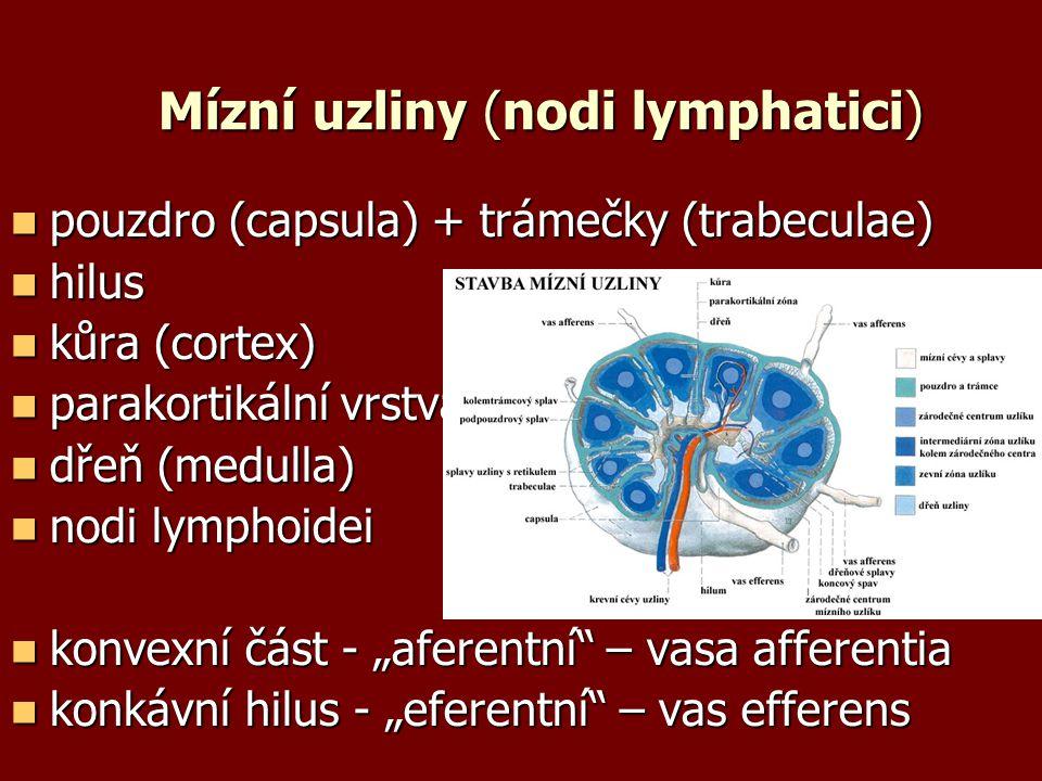 """Mízní uzliny (nodi lymphatici) pouzdro (capsula) + trámečky (trabeculae) pouzdro (capsula) + trámečky (trabeculae) hilus hilus kůra (cortex) kůra (cortex) parakortikální vrstva parakortikální vrstva dřeň (medulla) dřeň (medulla) nodi lymphoidei nodi lymphoidei konvexní část - """"aferentní – vasa afferentia konvexní část - """"aferentní – vasa afferentia konkávní hilus - """"eferentní – vas efferens konkávní hilus - """"eferentní – vas efferens"""