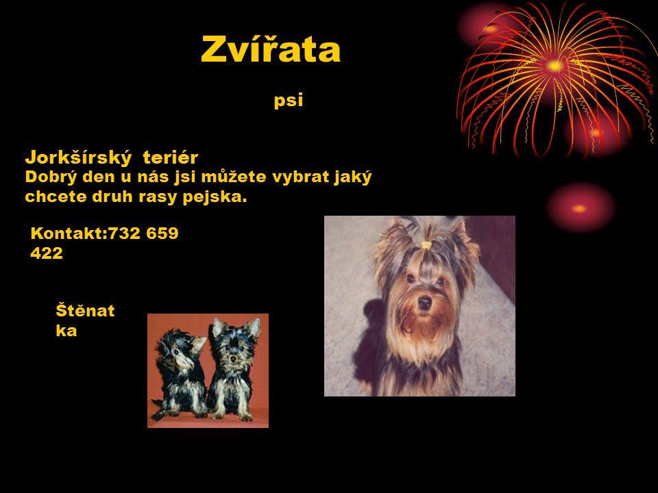 Zvířata psi Jorkšírský teriér Dobrý den u nás jsi můžete vybrat jaký chcete druh rasy pejska.