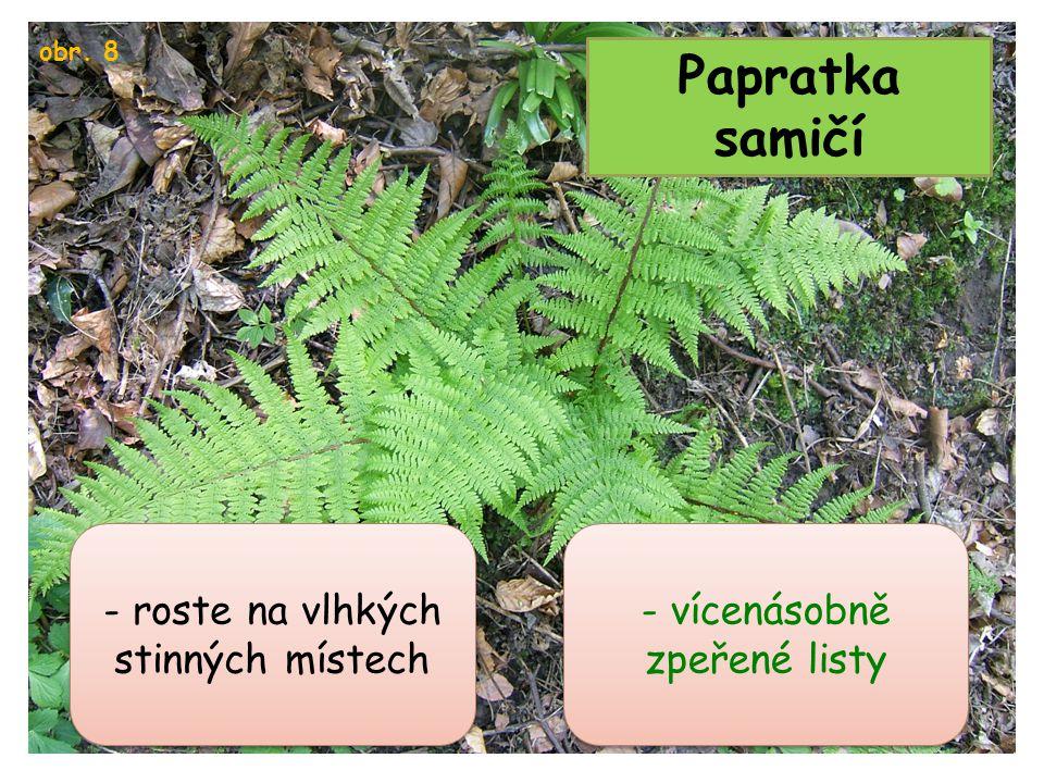Papratka samičí obr. 8 - vícenásobně zpeřené listy - roste na vlhkých stinných místech