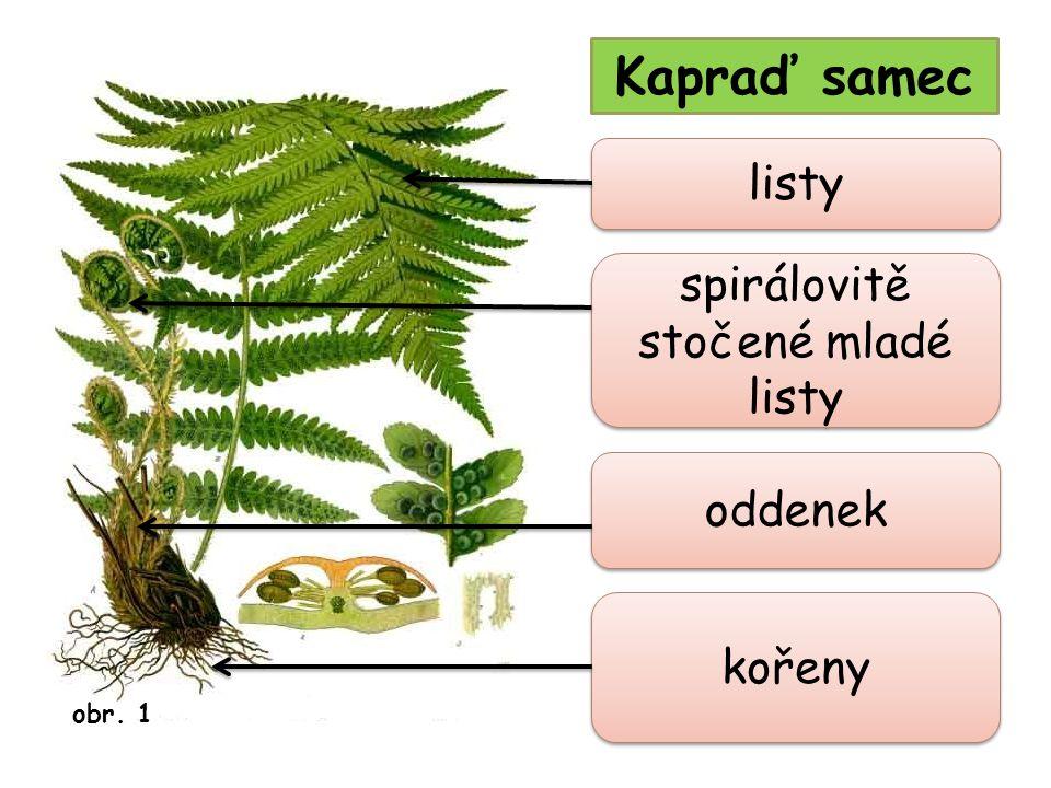 Kapraď samec spirálovitě stočené mladé listy listy oddenek kořeny obr. 1