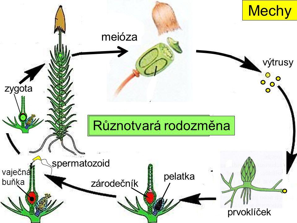 Typ rodozměny ? spermatozoid pelatka zárodečník vaječná buňka prvoklíček výtrusy Mechy meióza zygota Různotvará rodozměna