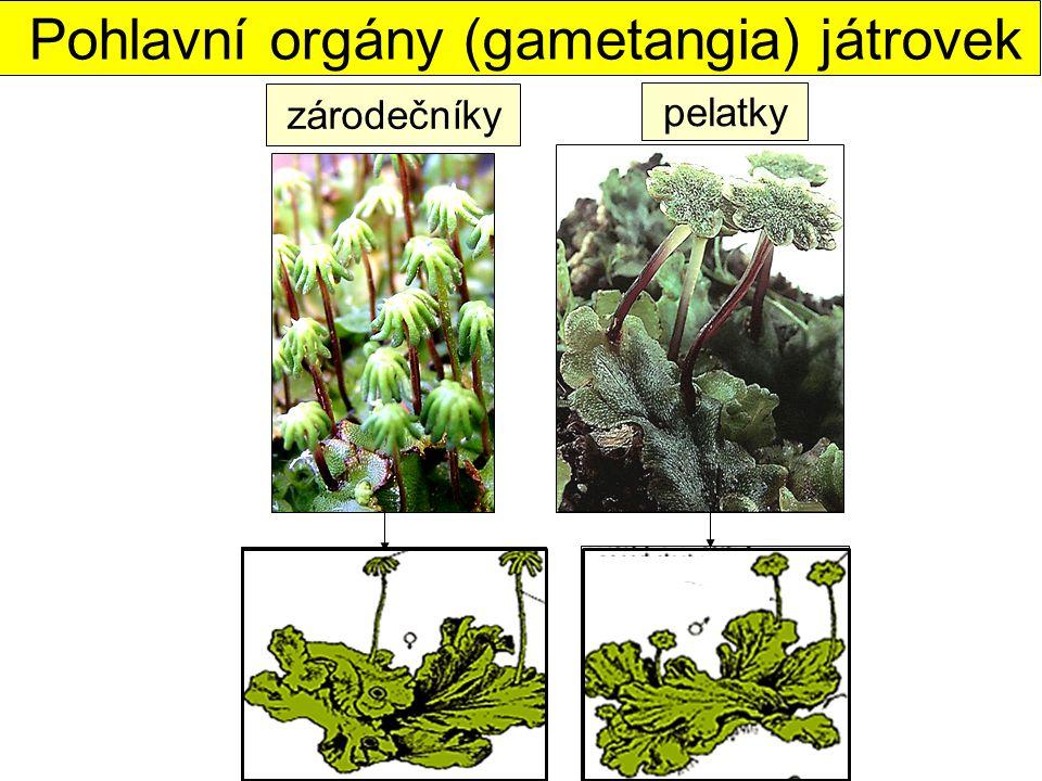 zárodečníky pelatky Pohlavní orgány (gametangia) játrovek
