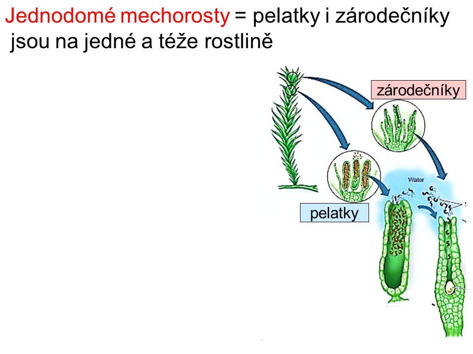 Jednodomé mechorosty = pelatky i zárodečníky jsou na jedné a téže rostlině zárodečníky pelatky