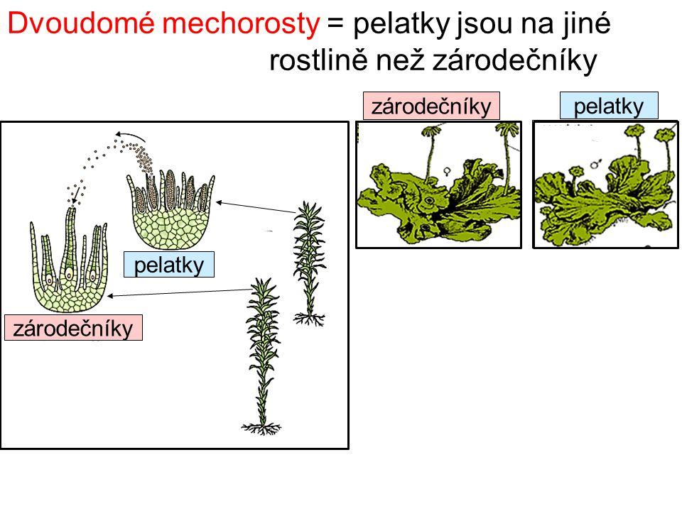 Dvoudomé mechorosty = pelatky jsou na jiné rostlině než zárodečníky pelatky zárodečníky pelatky zárodečníky