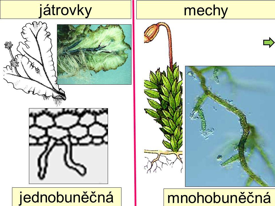 játrovky jednobuněčná mnohobuněčná mechy