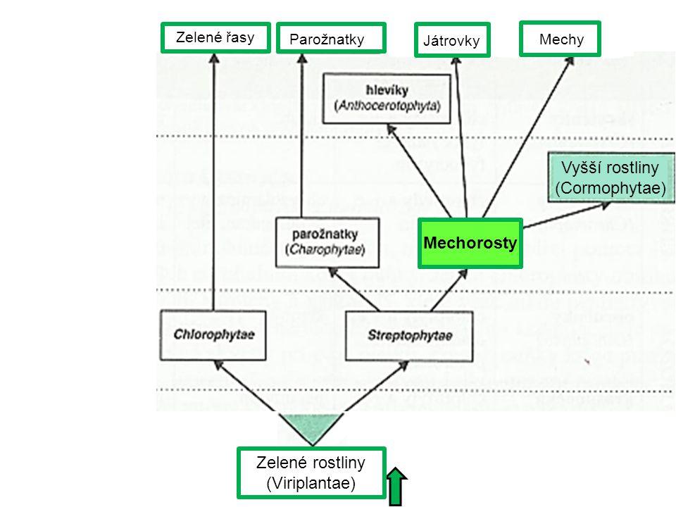 Zelené rostliny (Viriplantae) Zelené řasy Parožnatky Játrovky Mechy Mechorosty Vyšší rostliny (Cormophytae)