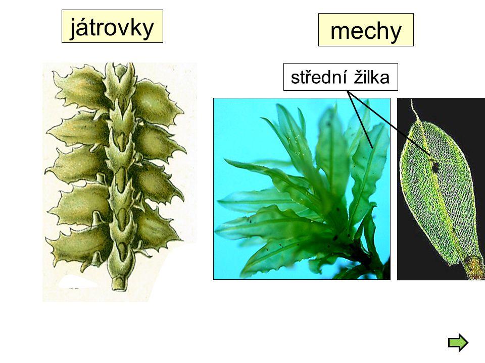 játrovky střední žilka mechy