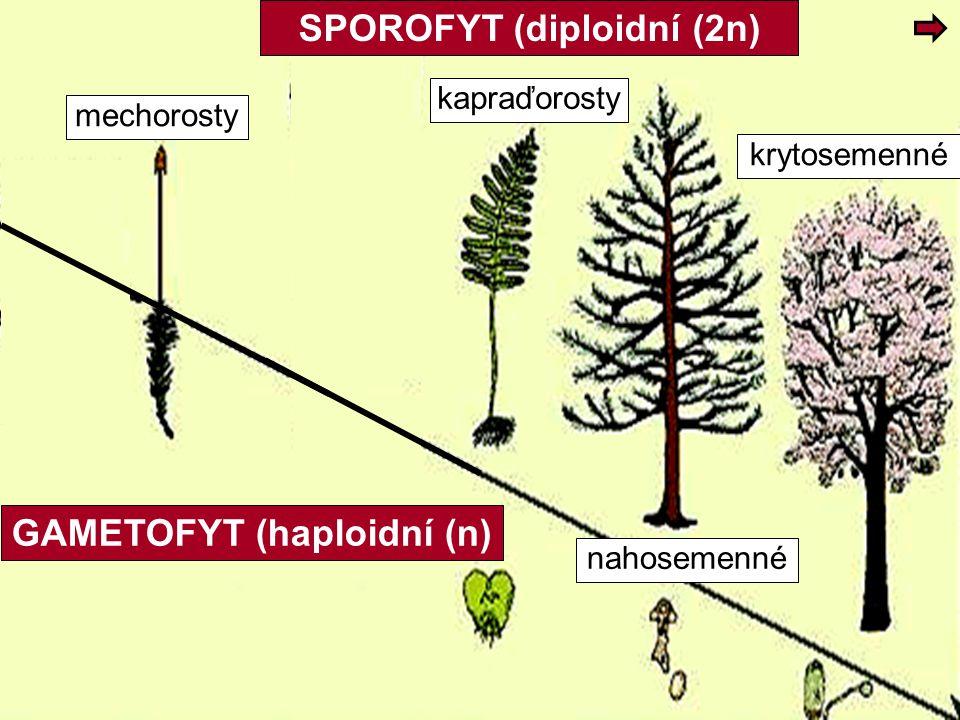 mechorosty kapraďorosty krytosemenné nahosemenné GAMETOFYT (haploidní (n) SPOROFYT (diploidní (2n)