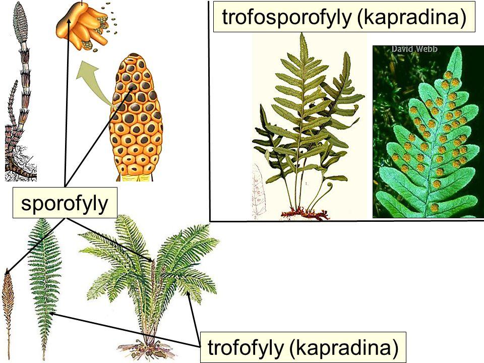 trofosporofyly (kapradina) trofofyly (kapradina) sporofyly