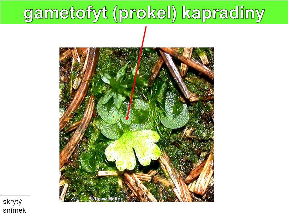 gametophytes skrytý snímek