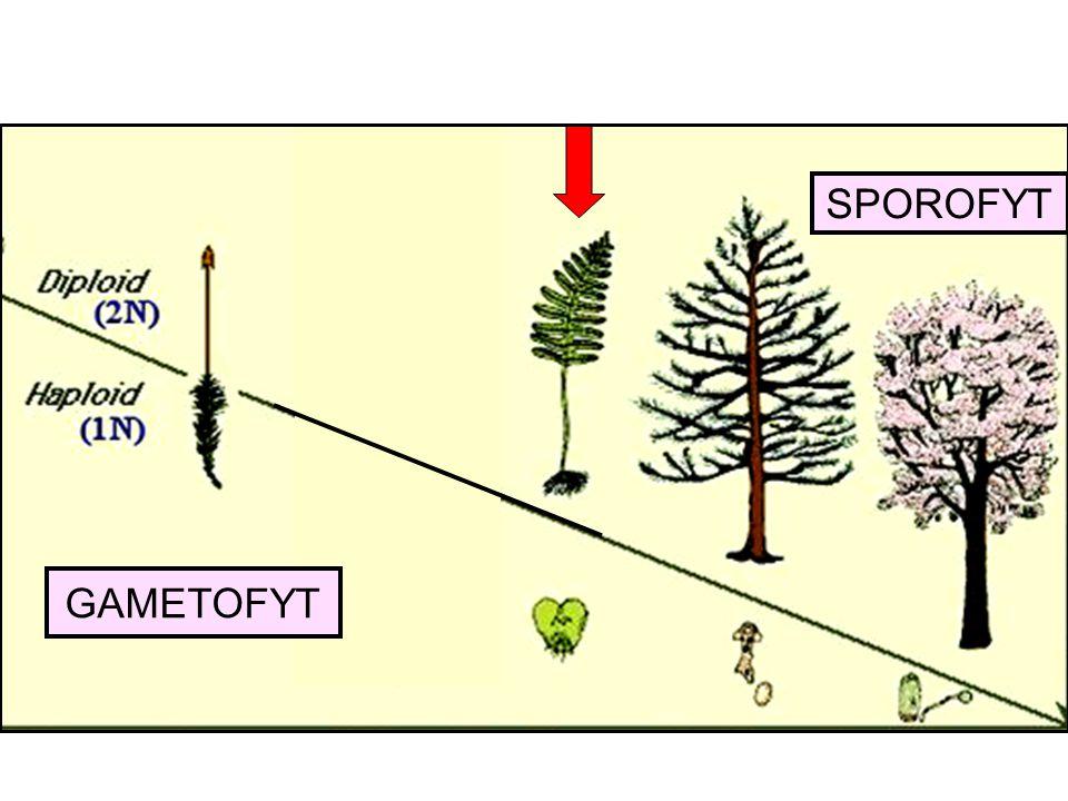SPOROFYT GAMETOFYT
