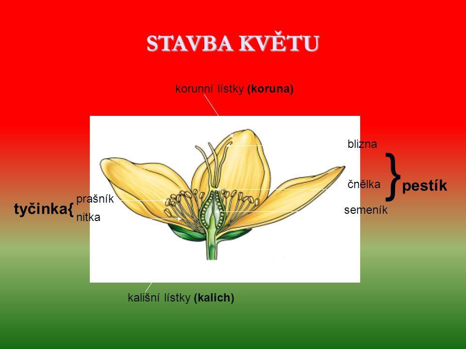 STAVBA KVĚTU korunní lístky (koruna) prašník nitka kališní lístky (kalich) blizna čnělka semeník tyčinka{ } pestík